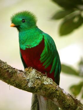 Resplendent_Quetzal